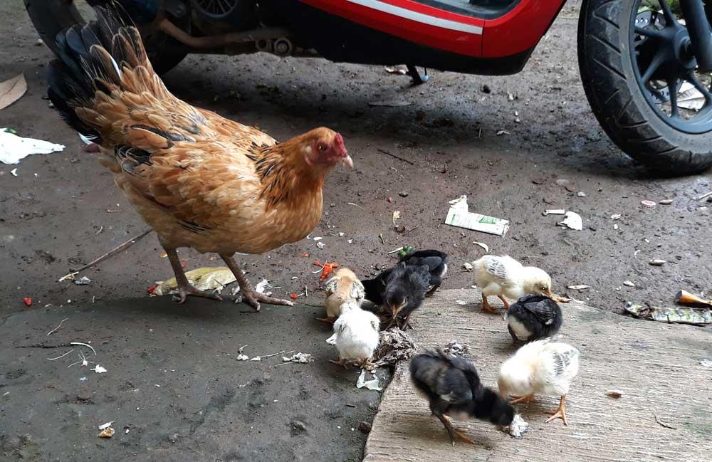 Ayam walik dan induknya ayam kampung