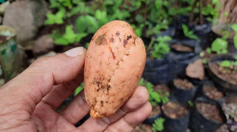 biji buah alpukat