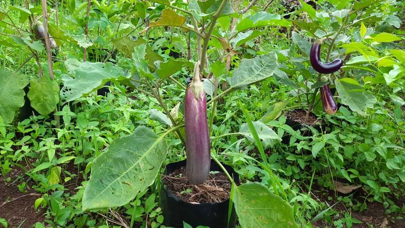 menanam terong di polybag
